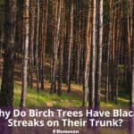 Why Do Birch Trees Have Black Streaks on Their Trunk?