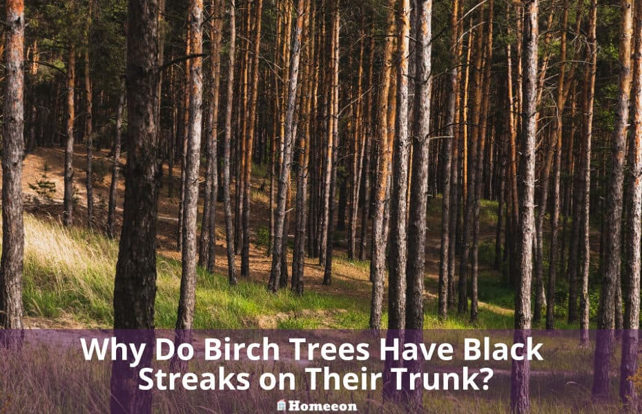 Birch Trees Have Black Streaks on Their Trunk