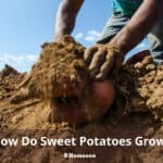 How Do Sweet Potatoes Grow?