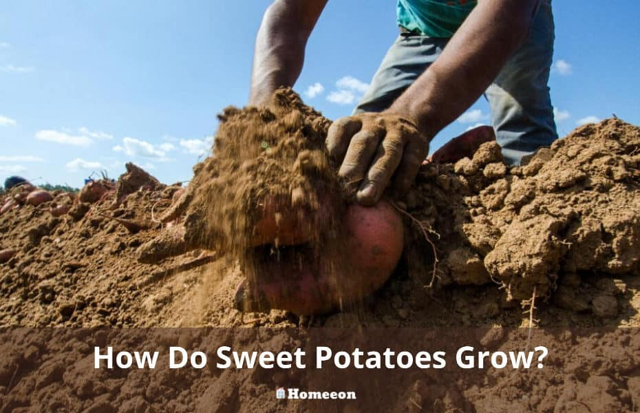 How Do Sweet Potatoes Grow