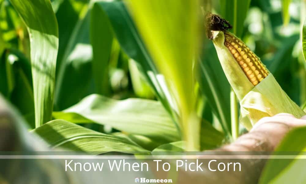 know When To Pick Corn