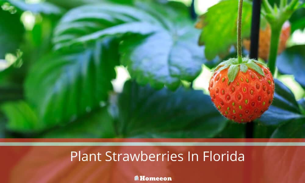 Plant Strawberries In Florida