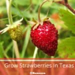 When To Grow Strawberries In Texas