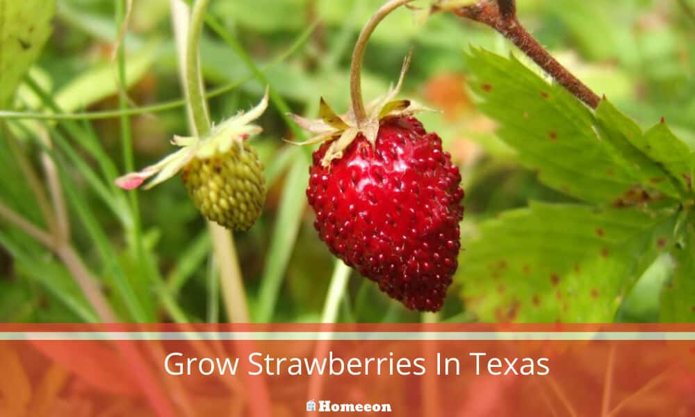Grow Strawberries In Texas