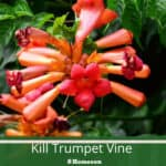How To Kill Trumpet Vine